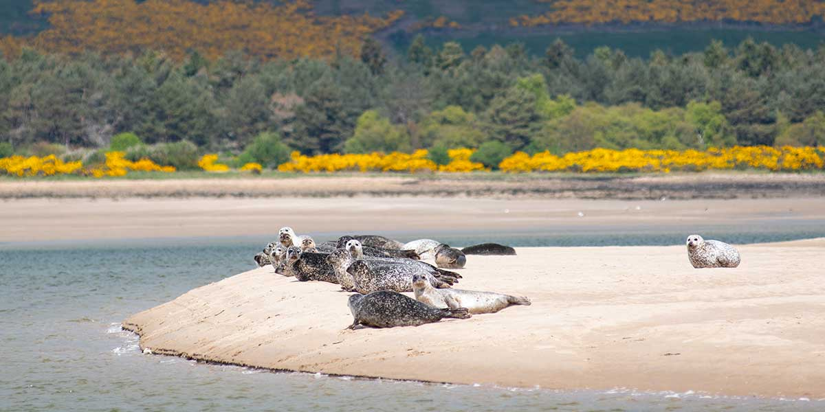 Seals On The Dornoch Firth